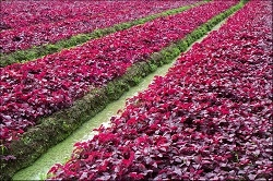 Lal Shag ~ Fresh  ~Red  Amaranth ~  Red Spinach  ~ Product of SaitamaLal Shag ~ Fresh  ~ Red Spinach  ~ Product of Saitama