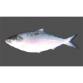 Hilsha fish whole .  1500  gm - 2000 gm . Per kg 2590 yen . Price Variable Depending on Weight .
