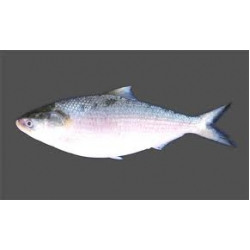 Hilsha fish whole .  1200  gm - 1500 gm . Per kg 2450 yen . Price Variable Depending on Weight .