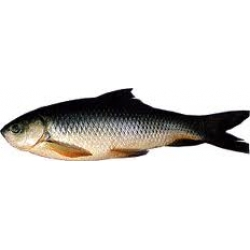 Ruhi Whole  Fresh Shad, Taste, Small Cut In To Pieces  With  Husk,1 Piece 3 Kg To  5 Kg