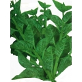 Pui-foi-shag (fresh)  < Malabar  Spinach > Product of  ibaraki  but orgin in bangladesh